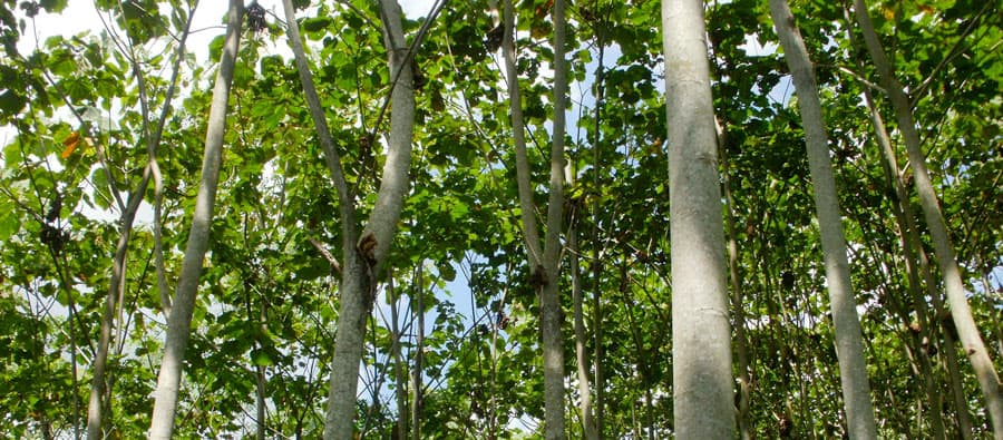 balsa-tree